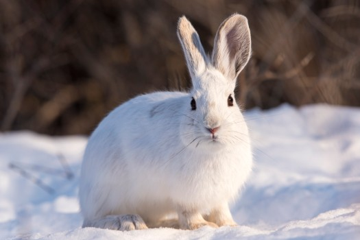 Fear itself of a predator is enough to reduce populations of a snowshoe hare, show Macleod at al.